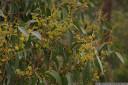 stringybark (eucalyptus obliqua) leaves and flower buds