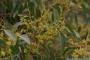 stringybark (eucalyptus obliqua) flower buds