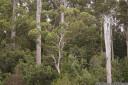 stringybark (eucalyptus obliqua)