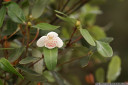 leatherwood (eucryphia lucida) leaves and flower