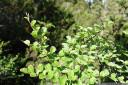 deciduous beech (fucospora gunnii, syn. nothofagus gunnii), overland track, tasmania