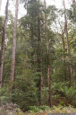 myrtle beech (nothofagus cunninghamii) at warra, tahune state forest, tasmania