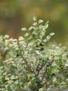 myrtle beech (nothofagus cunninghamii) leaves