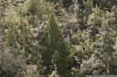 celery-top pine (phyllocladus aspleniifolius) in tahune state forest, tasmania