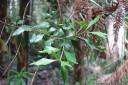 celery-top pine (phyllocladus aspleniifolius) phylloclades