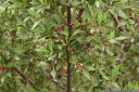 celery-top pine (phyllocladus aspleniifolius) fruit