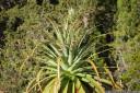 pandani (richea pandanifolia), overland track