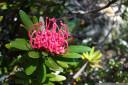 tasmanian waratah (telopea truncata)