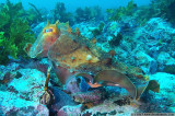 australian giant cuttlefish (sepia apama) changing shape and colours