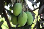 Mangos der Sorte Amrapali (Foto: Suyash Dwivedi, cc-by-sa 4.0)