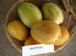 Mangos der Sorte Babtiste (Foto: Asit K. Ghosh, cc-by-sa 3.0)