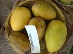 Mangos der Sorte Cambodiana (Foto: Asit K. Ghosh, cc-by-sa 3.0)