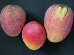 Zwei Cogshall Mangos (links, rechts) im Vergleich zu einer Haden Mango (Mitte) (Foto: Asit K. Ghosh, cc-by-sa 3.0)