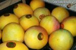 Mangos der Sorte Pearl (Foto: Markus Nolf / Vom Essen Besessen)
