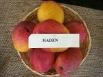 Mangos der Sorte Haden (Foto: Asit K. Ghosh, cc-by-sa 3.0)